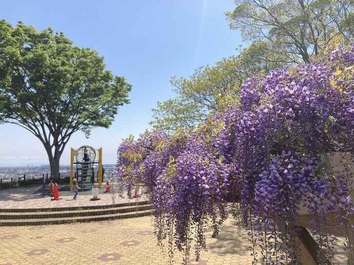 蓮華寺池公園の藤の花