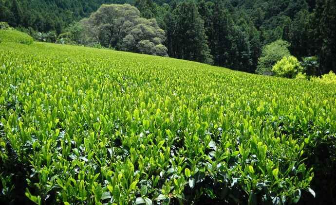 標高300~500mの茶園で栽培される天竜茶は、山ならではのコクとうま味があり、ほどよい渋みと爽やかな後味が特長